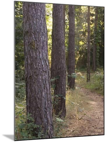 Woodland Path Trough Scots Pine Trees, Pinus Sylvestris, Norfolk, England-Amanda Hall-Mounted Photographic Print