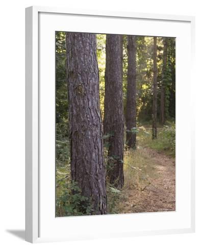 Woodland Path Trough Scots Pine Trees, Pinus Sylvestris, Norfolk, England-Amanda Hall-Framed Art Print