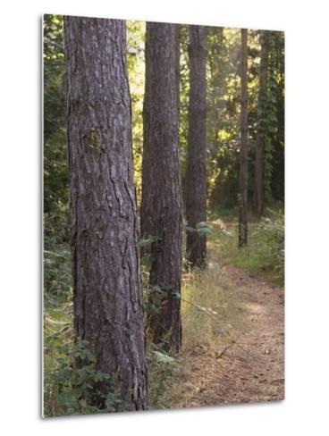 Woodland Path Trough Scots Pine Trees, Pinus Sylvestris, Norfolk, England-Amanda Hall-Metal Print