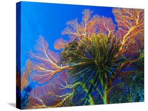 Featherstars Perch on the Edge of Gorgonian Sea Fans to Feed in the Current, Fiji, Pacific Ocean-Louise Murray-Stretched Canvas Print