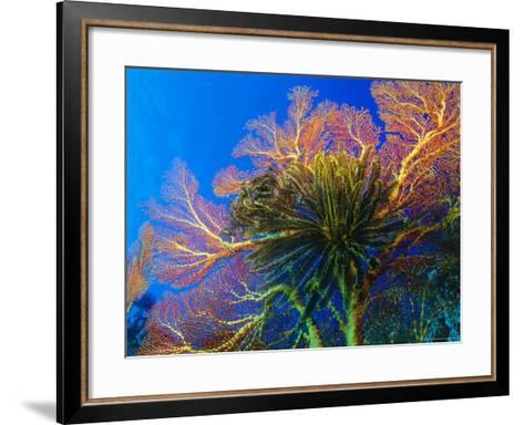 Featherstars Perch on the Edge of Gorgonian Sea Fans to Feed in the Current, Fiji, Pacific Ocean-Louise Murray-Framed Art Print