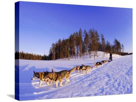 Driving a Dogsled with a Team of 8 Siberian Huskies, Karelia, Finland, Europe-Louise Murray-Stretched Canvas Print