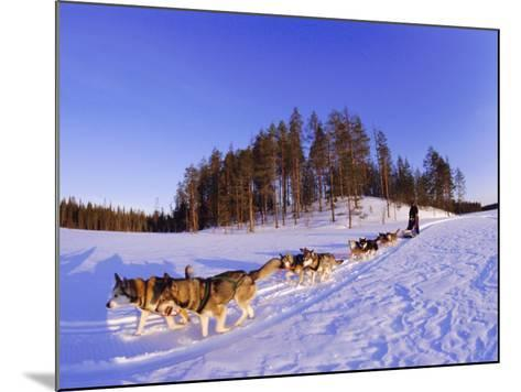 Driving a Dogsled with a Team of 8 Siberian Huskies, Karelia, Finland, Europe-Louise Murray-Mounted Photographic Print