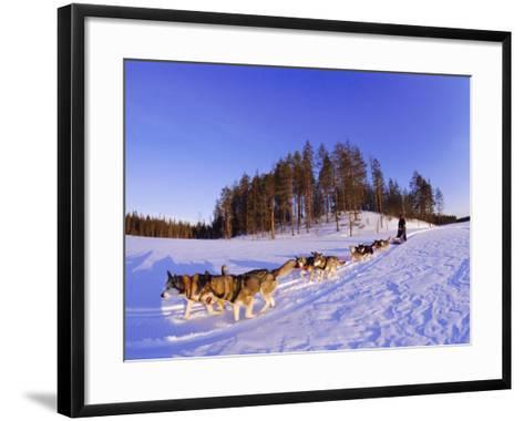 Driving a Dogsled with a Team of 8 Siberian Huskies, Karelia, Finland, Europe-Louise Murray-Framed Art Print