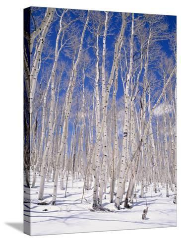Aspen Trees During Winter, Dixie National Forest, Utah, USA-Roy Rainford-Stretched Canvas Print
