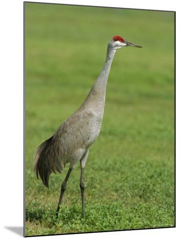 A Sandhill Crane, South Florida, USA-Roy Rainford-Mounted Photographic Print