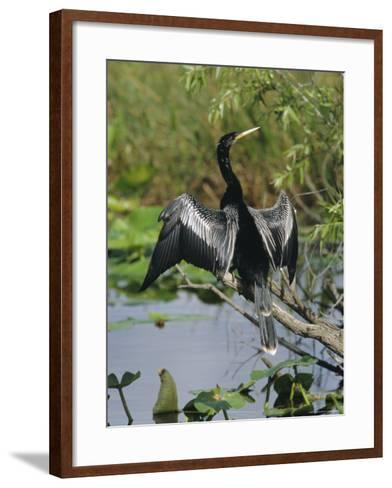 Anhingha Drying Wings, South Florida, USA-Roy Rainford-Framed Art Print