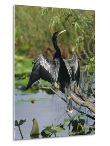 Anhingha Drying Wings, South Florida, USA-Roy Rainford-Metal Print