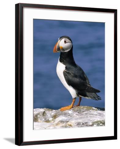 A Puffin Standing on Rock, Farne Islands, Northumberland, England, UK-Roy Rainford-Framed Art Print