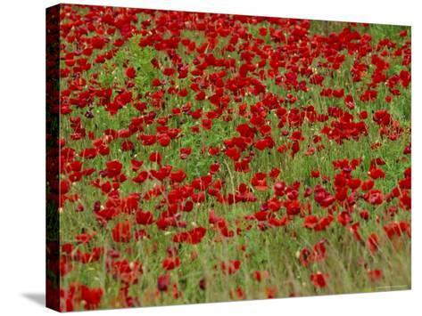 Poppy Field, Spain, Europe-John Miller-Stretched Canvas Print