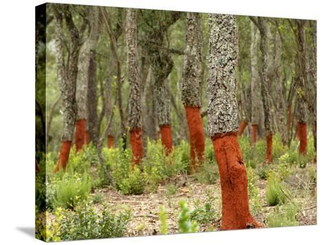 Freshly Stripped Cork Oaks, Catalunya (Catalonia), Spain, Europe-John Miller-Stretched Canvas Print