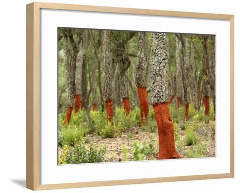 Freshly Stripped Cork Oaks, Catalunya (Catalonia), Spain, Europe-John Miller-Framed Art Print