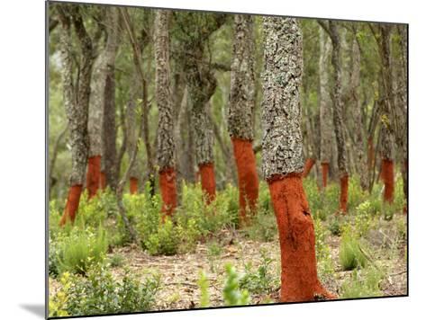 Freshly Stripped Cork Oaks, Catalunya (Catalonia), Spain, Europe-John Miller-Mounted Photographic Print