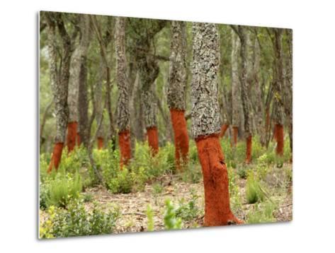 Freshly Stripped Cork Oaks, Catalunya (Catalonia), Spain, Europe-John Miller-Metal Print