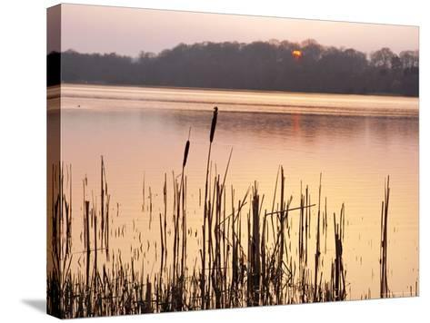 Frensham Great Pond at Sunset with Reeds in Foreground, Frensham, Surrey, England-Pearl Bucknell-Stretched Canvas Print