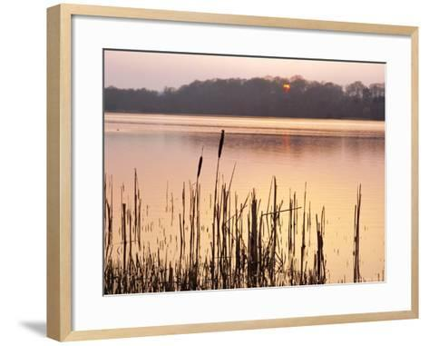 Frensham Great Pond at Sunset with Reeds in Foreground, Frensham, Surrey, England-Pearl Bucknell-Framed Art Print