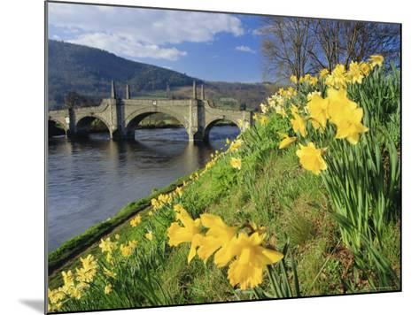 Daffodils by the River Tay and Wade's Bridge, Aberfeldy, Perthshire, Scotland, UK, Europe-Kathy Collins-Mounted Photographic Print
