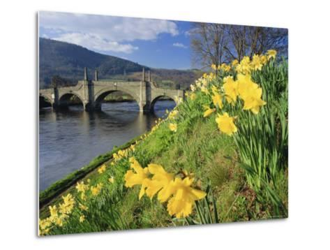 Daffodils by the River Tay and Wade's Bridge, Aberfeldy, Perthshire, Scotland, UK, Europe-Kathy Collins-Metal Print