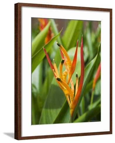 Type of Bird of Paridise Plant, Costa Rica-Robert Harding-Framed Art Print