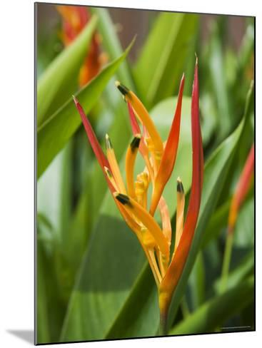 Type of Bird of Paridise Plant, Costa Rica-Robert Harding-Mounted Photographic Print
