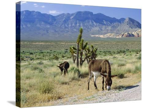 Wild Mules, the Spring Mountains, Nevada, USA-Fraser Hall-Stretched Canvas Print