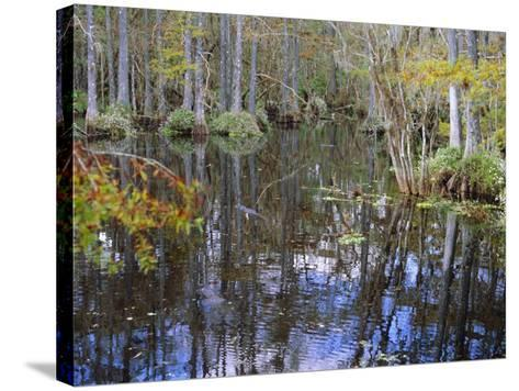 Bald Cypress Swamp Near Fort Myers, Florida, USA-Fraser Hall-Stretched Canvas Print
