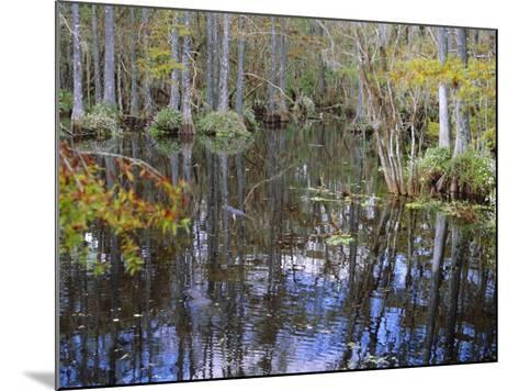 Bald Cypress Swamp Near Fort Myers, Florida, USA-Fraser Hall-Mounted Photographic Print
