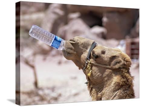 Camel Drinking, Jordan, Petra-Neale Clarke-Stretched Canvas Print