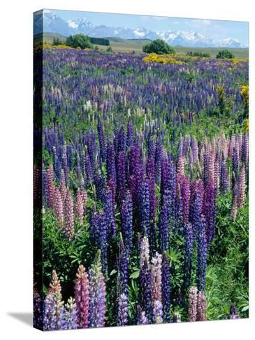 Wild Lupins, Mt. Cook National Park, New Zealand-Neale Clarke-Stretched Canvas Print