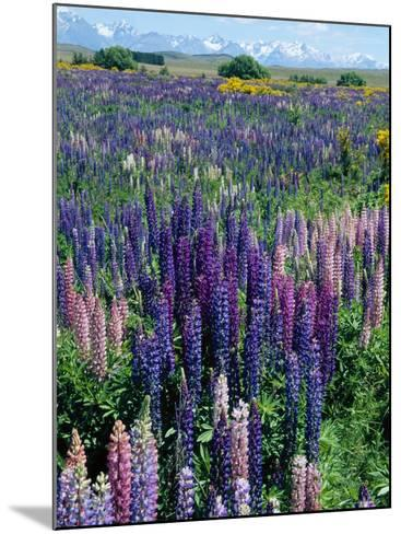 Wild Lupins, Mt. Cook National Park, New Zealand-Neale Clarke-Mounted Photographic Print