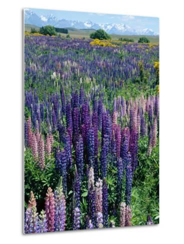 Wild Lupins, Mt. Cook National Park, New Zealand-Neale Clarke-Metal Print