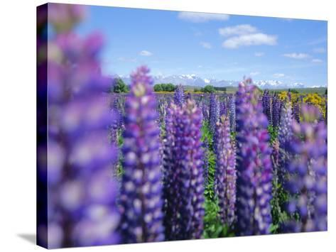 Wild Lupins in the Mt. Cook National Park, Canterbury, South Island, New Zealand-Neale Clarke-Stretched Canvas Print
