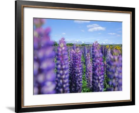 Wild Lupins in the Mt. Cook National Park, Canterbury, South Island, New Zealand-Neale Clarke-Framed Art Print