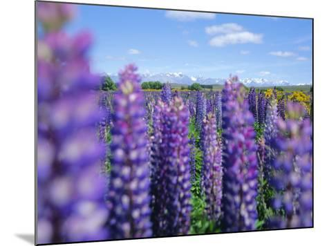 Wild Lupins in the Mt. Cook National Park, Canterbury, South Island, New Zealand-Neale Clarke-Mounted Photographic Print