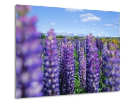 Wild Lupins in the Mt. Cook National Park, Canterbury, South Island, New Zealand-Neale Clarke-Metal Print