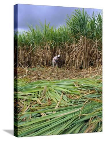 Sugar Cane Cutting by Hand, Reunion Island, Indian Ocean-Sylvain Grandadam-Stretched Canvas Print