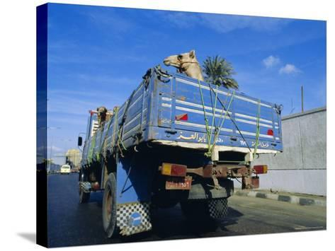 Camels Being Driven to Market in Back of Truck, Cairo, Egypt-Sylvain Grandadam-Stretched Canvas Print