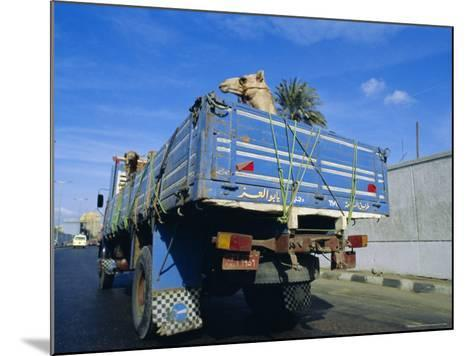 Camels Being Driven to Market in Back of Truck, Cairo, Egypt-Sylvain Grandadam-Mounted Photographic Print