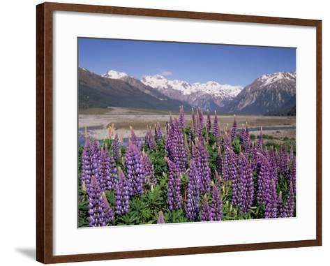 Wild Lupin Flowers (Lupinus) with Birdwood Mountains Behind, South Island, New Zealand-Gavin Hellier-Framed Art Print