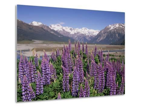 Wild Lupin Flowers (Lupinus) with Birdwood Mountains Behind, South Island, New Zealand-Gavin Hellier-Metal Print
