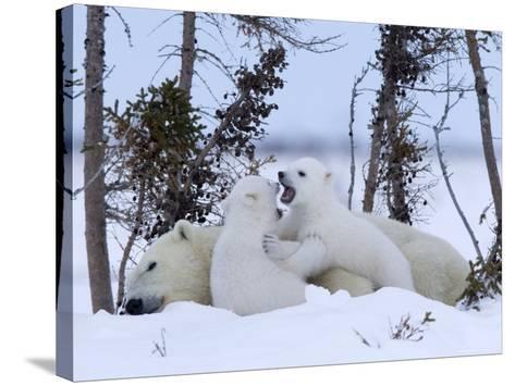 Polar Bear with Cubs, (Ursus Maritimus), Churchill, Manitoba, Canada-Thorsten Milse-Stretched Canvas Print