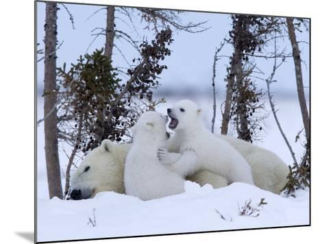 Polar Bear with Cubs, (Ursus Maritimus), Churchill, Manitoba, Canada-Thorsten Milse-Mounted Photographic Print