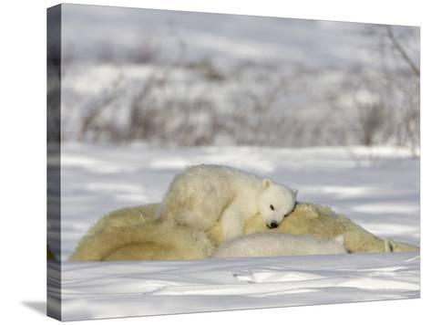 Polar Bear with Cubs, (Ursus Maritimus), Churchill, Manitoba, Canada-Thorsten Milse-Stretched Canvas Print