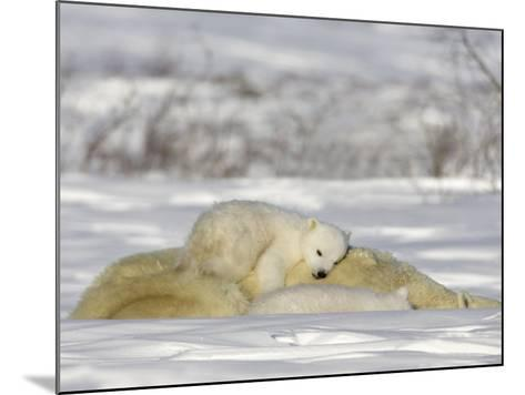 Polar Bear with Cubs, (Ursus Maritimus), Churchill, Manitoba, Canada-Thorsten Milse-Mounted Photographic Print