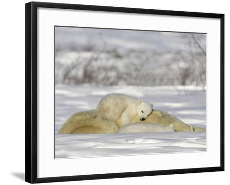 Polar Bear with Cubs, (Ursus Maritimus), Churchill, Manitoba, Canada-Thorsten Milse-Framed Art Print