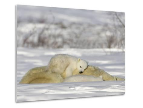 Polar Bear with Cubs, (Ursus Maritimus), Churchill, Manitoba, Canada-Thorsten Milse-Metal Print