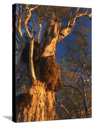 River Red Gum Tree, Hattah-Kulkyne National Park, Victoria, Australia, Pacific-Jochen Schlenker-Stretched Canvas Print