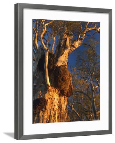 River Red Gum Tree, Hattah-Kulkyne National Park, Victoria, Australia, Pacific-Jochen Schlenker-Framed Art Print