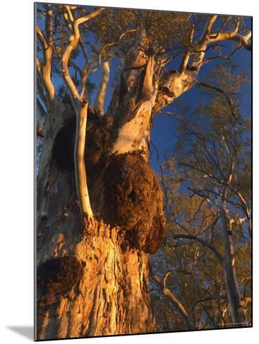 River Red Gum Tree, Hattah-Kulkyne National Park, Victoria, Australia, Pacific-Jochen Schlenker-Mounted Photographic Print