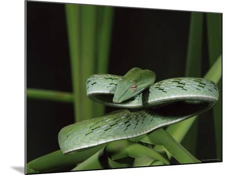 Long-Nose Vine Snake (Ahaetulla Prasina), in Captivity, from Southeast Asia, Asia-James Hager-Mounted Photographic Print